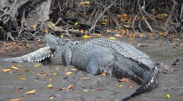 Pet metara krokodil-kanibal pojeo njegov rođak tri metra