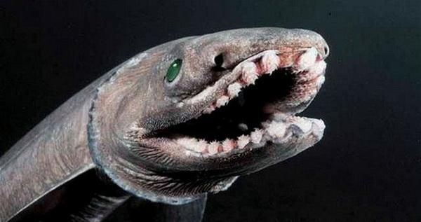 Плащеносная акула (лат. Chlamydoselachus anguineus)