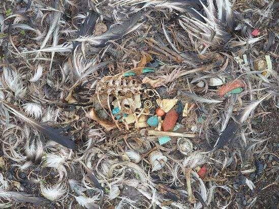 Uvelike pogođeni plastičnog otpada albatrosa.