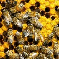 Chov prácu vo včelárstve