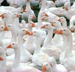 Племенной отбор гусей