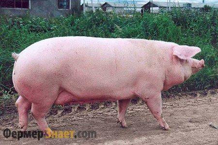 Landras svinja rase