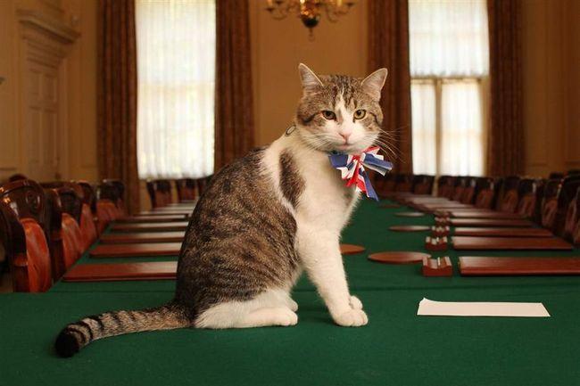 Mačka, koja je počela: kao kućni ljubimac Cameron se vratio kući.