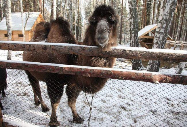 Ufa, pobjegao iz zoološkog vrta Camel.