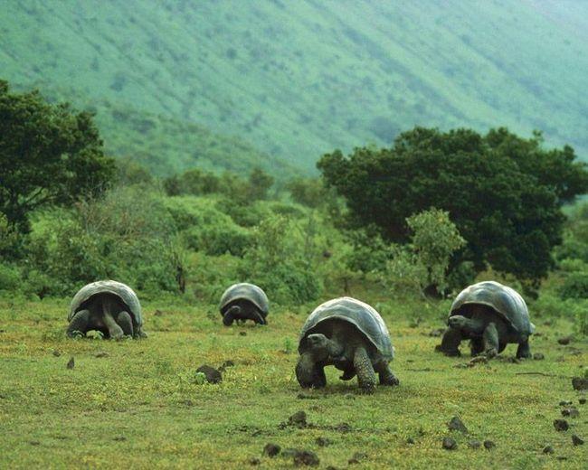 Galápagos kornjača.