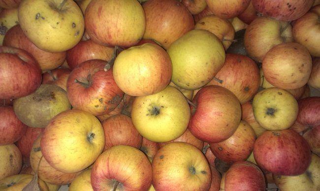 Почему гниют яблоки?