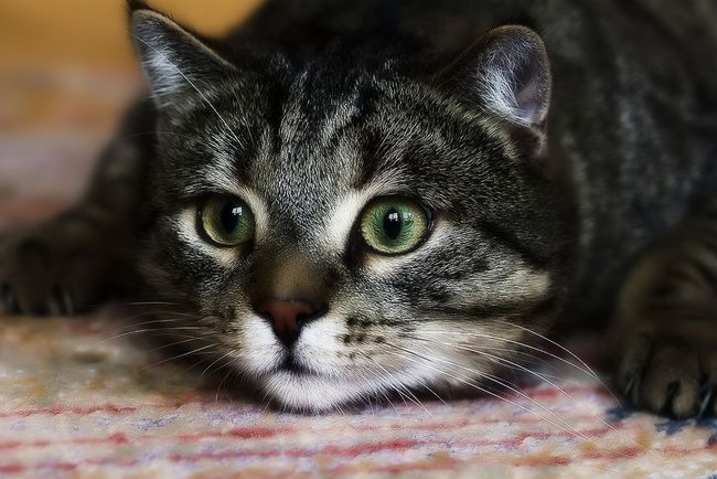 Zašto mačka liže stalno svrbi i ako nema buhe
