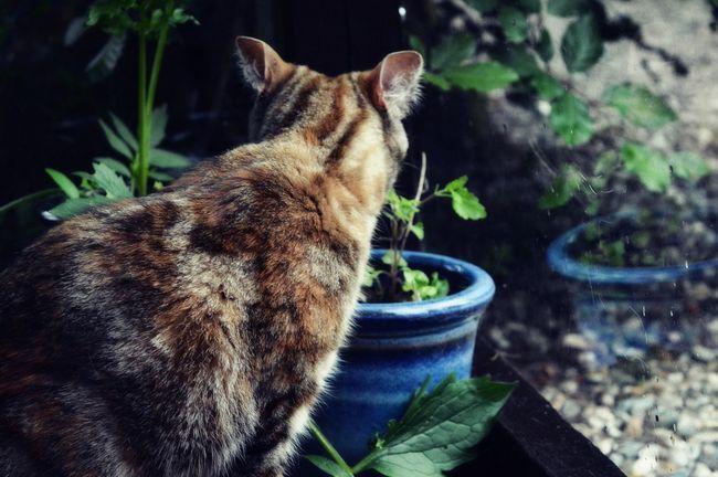 Zašto mačke kao valerijana?