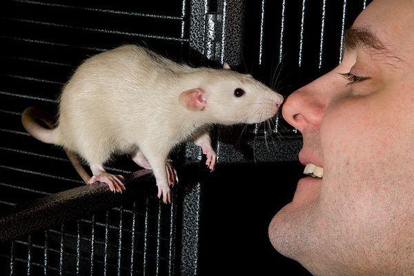 Почему крысы обнюхивают друг друга