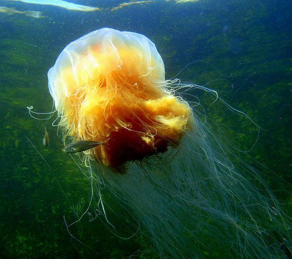 """Cyanea capillata, nebo """"lví hříva"""" - jedna z největších medúzy, hrdinka příběhu Conana Doyla."""