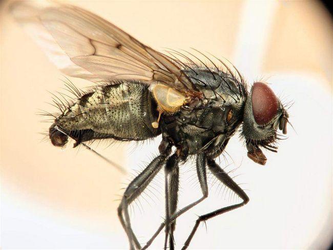 Stabilné fly sliny jedovaté.