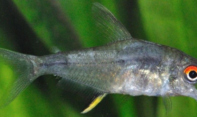 Bijele fleke na ribe tijelo.