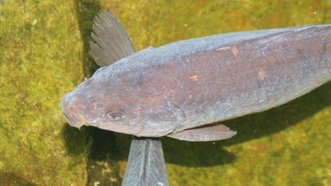 Gyrodactylosis.