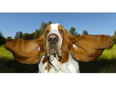 Baset također posjeduje najduži pas uši - 29,2 cm