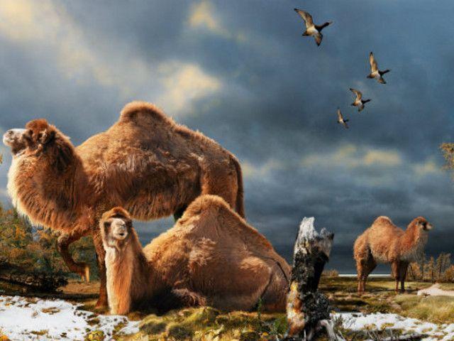 Bactrian kamile hiljadama godina da prilagode svoje metabolizam teškim uslovima.
