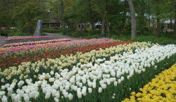 A cvijet krevet sa cvatnje tulipani, i.ua