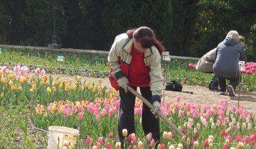 Proces popuštanja rake tulipani, 7dach.ru