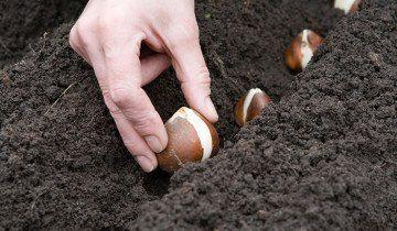 Transplantaciju tulipani u jesen, homester.com.ua