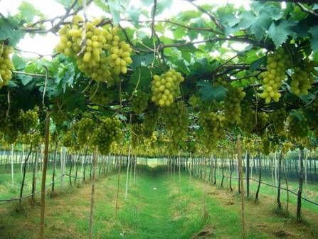 Priprema zemljišta za uzgoj vinove loze