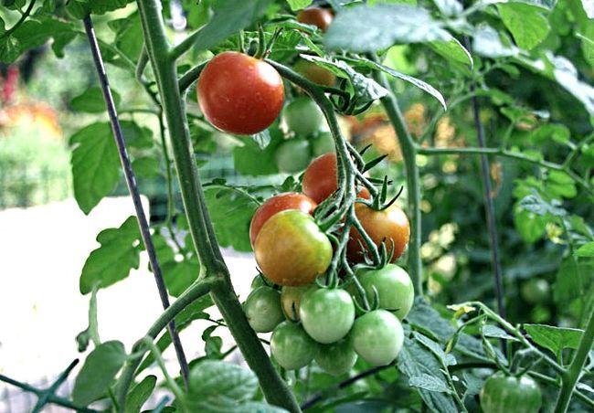 podkormka pomidorov3