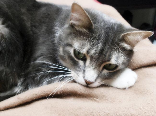 Клещи у кошек - симптомы