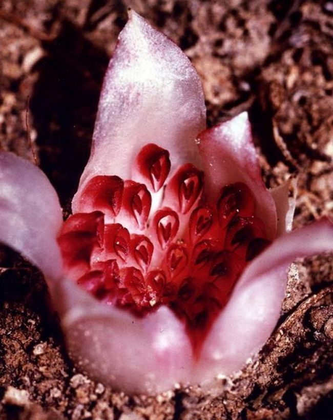 Подземная орхидея: ризантелла гарднера (rhizanthella gardneri)