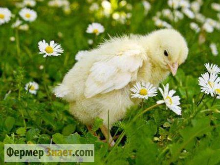 Полезные советы по выращиванию бройлерных цыплят