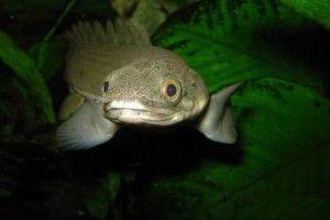 Полиптерус: содержание в аквариуме