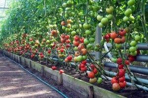 Zalivanja paradajza u plasteniku