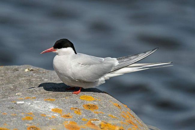 Polar Tern (Sterna paradisaea).