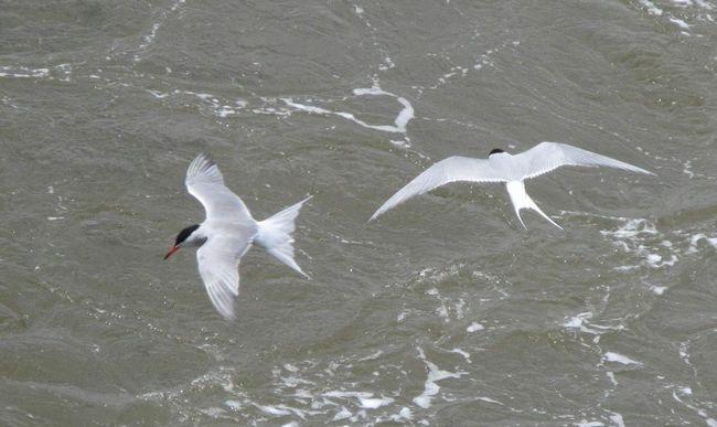 Arctic Terns - Vtáky severných morí.