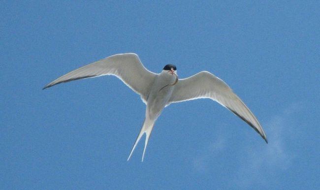 Tern - stredná vtáky.
