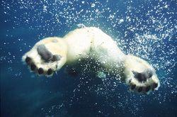 polarni medvjed