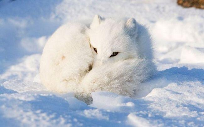 Polar lisice na fotografijama Anna Henley