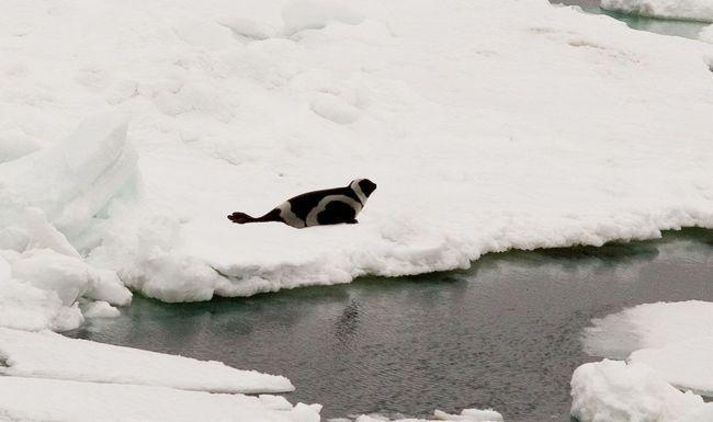 Vrpce pečat plovi zajedno sa ledom.