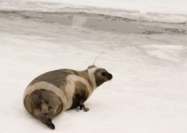 Prugasti brtve da se odmara na ravnom sante leda.