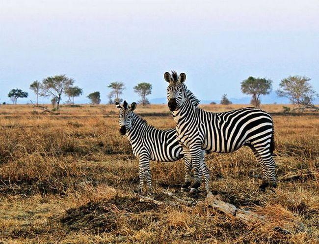 Зоологи нашли новое объяснение полосатости зебр
