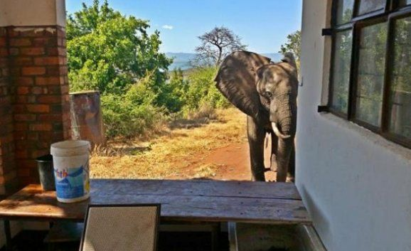 U Zimbabveu lovokradice ranjen slona.