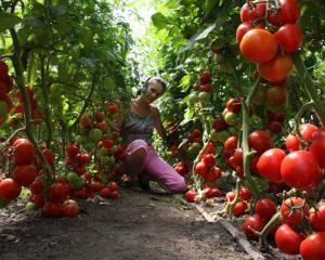 Помидоры в теплице. Видео выращивания помидор в теплице