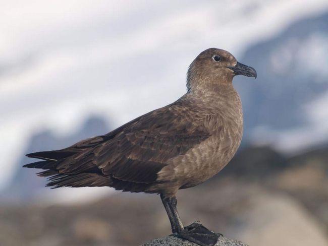 Поморник - птица средних размеров.