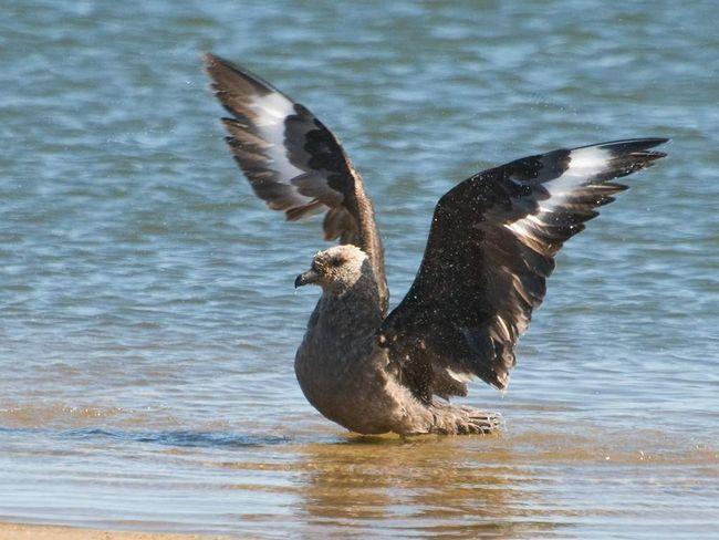 Эта птица - житель морских просторов.