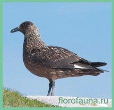 Поморниксредний / stercorarius pomarinus