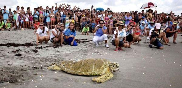 Oborio brodom propeler velike morske kornjače spašeni veterinari