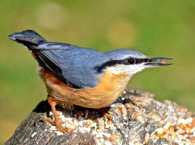 Птичка ямщик обитает в парках и садах.