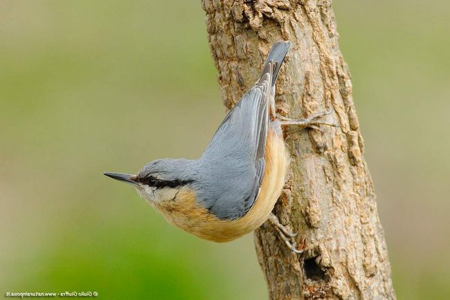 Название птица получила за умение, будто, ползти по стволу. На самом деле - поползень быстро скачет, иногда даже вниз головой.