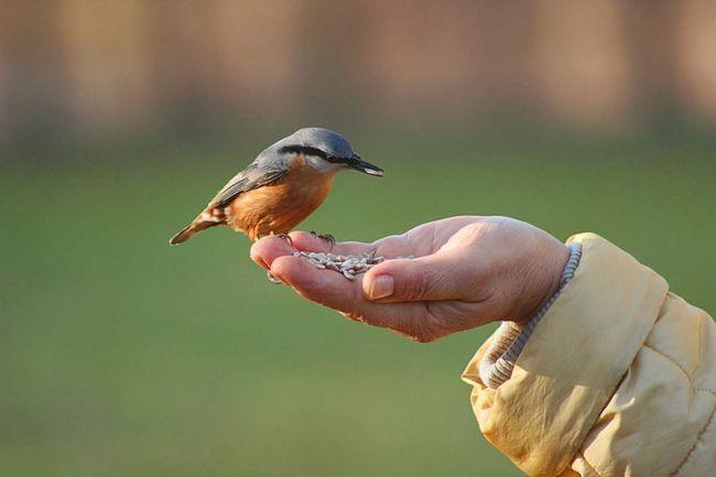 Поползень - птица одиночная.