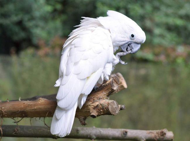 Papoušek kakadu (Cacatuidae).