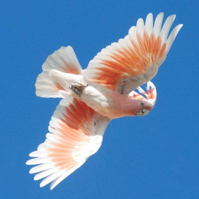 Kakadu zarážející krásu jejich peří.
