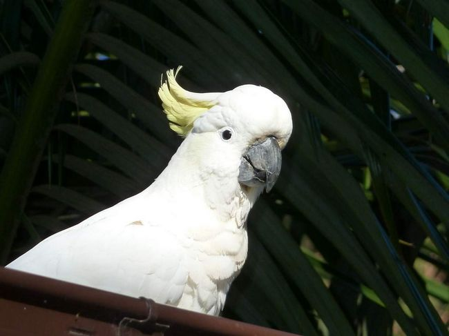 Kakadu snadno zkrotit ptáky.