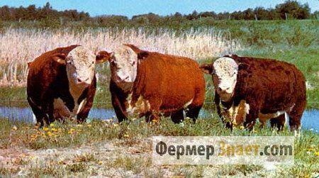 Popularne pasmine goveda za proizvodnju mesa